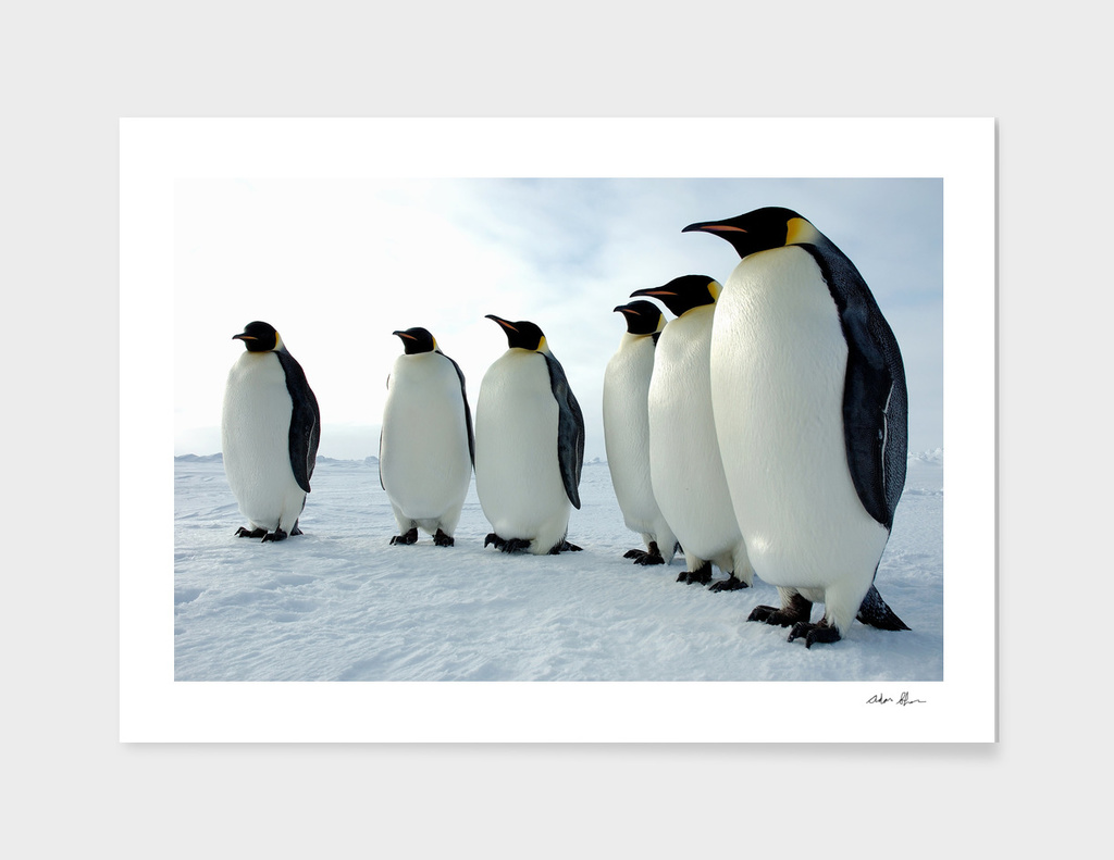 Lined Up Emperor Penguins Photograph