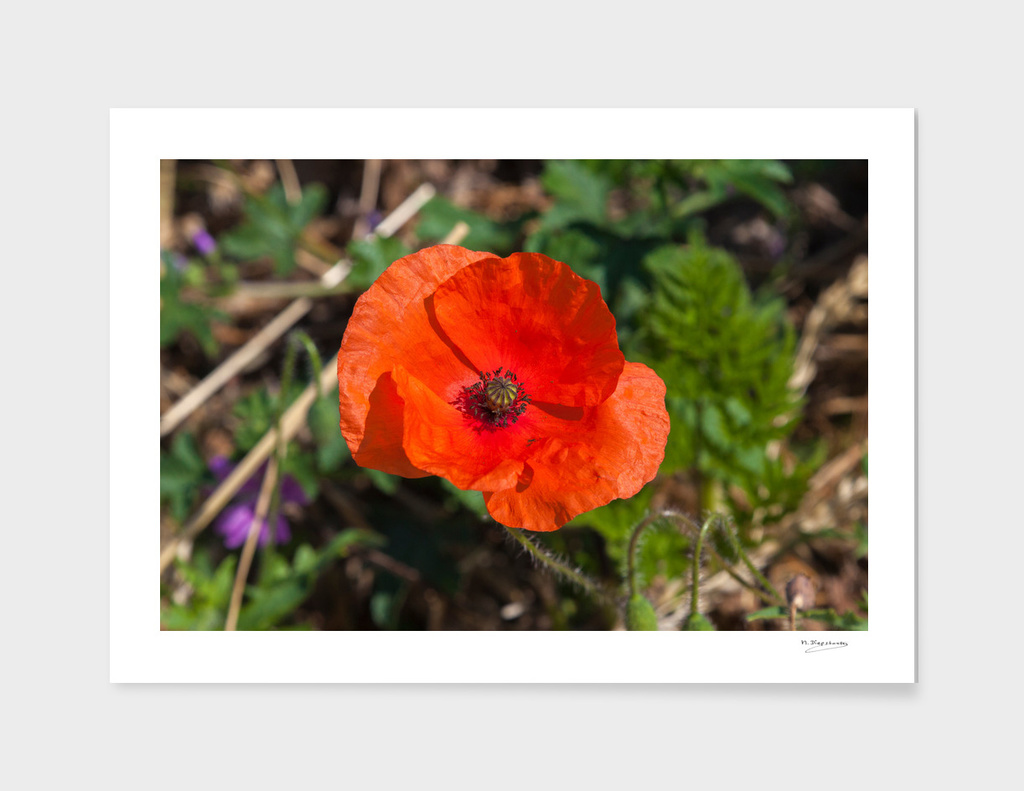 Lovely red poppy