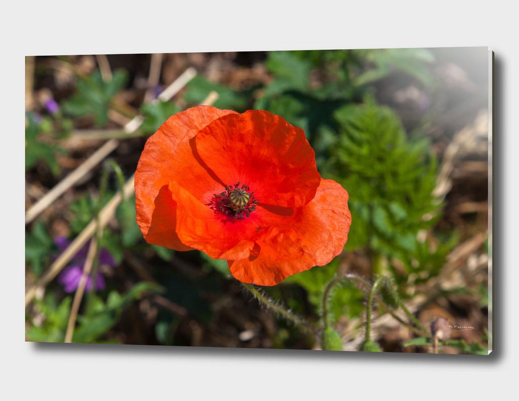 Lovely red poppy