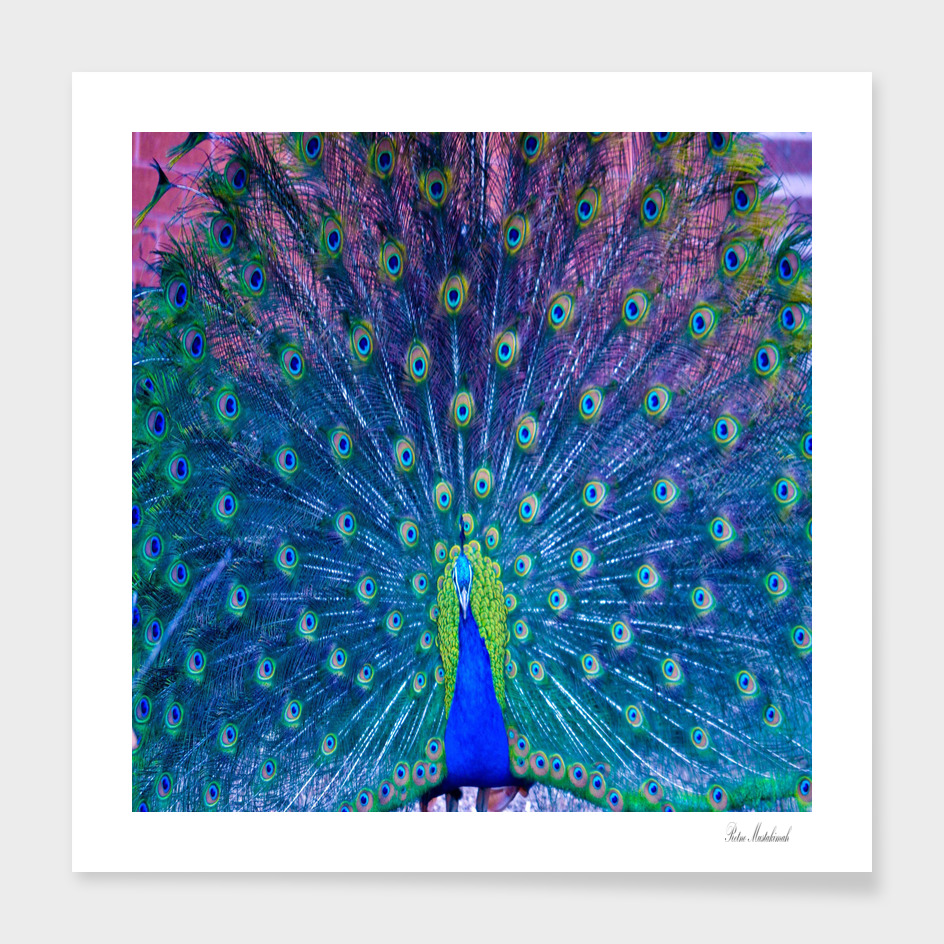 Amazing peacock feather