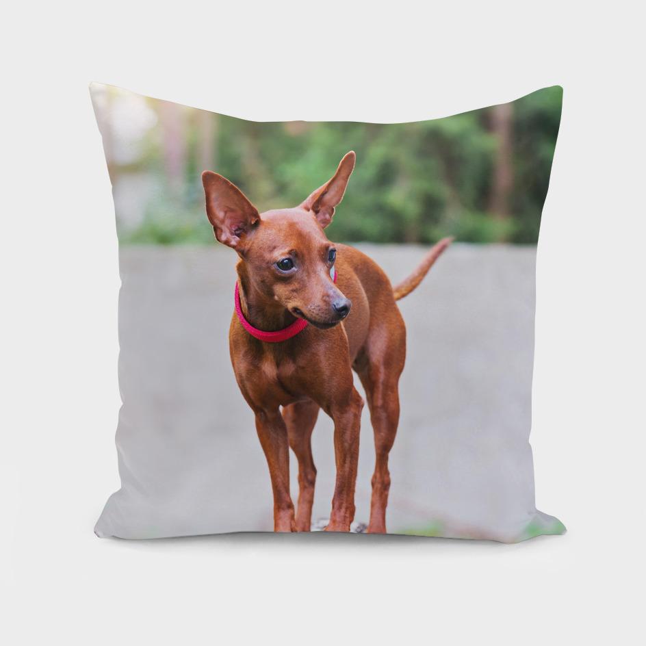Portrait of red miniature pinscher dog