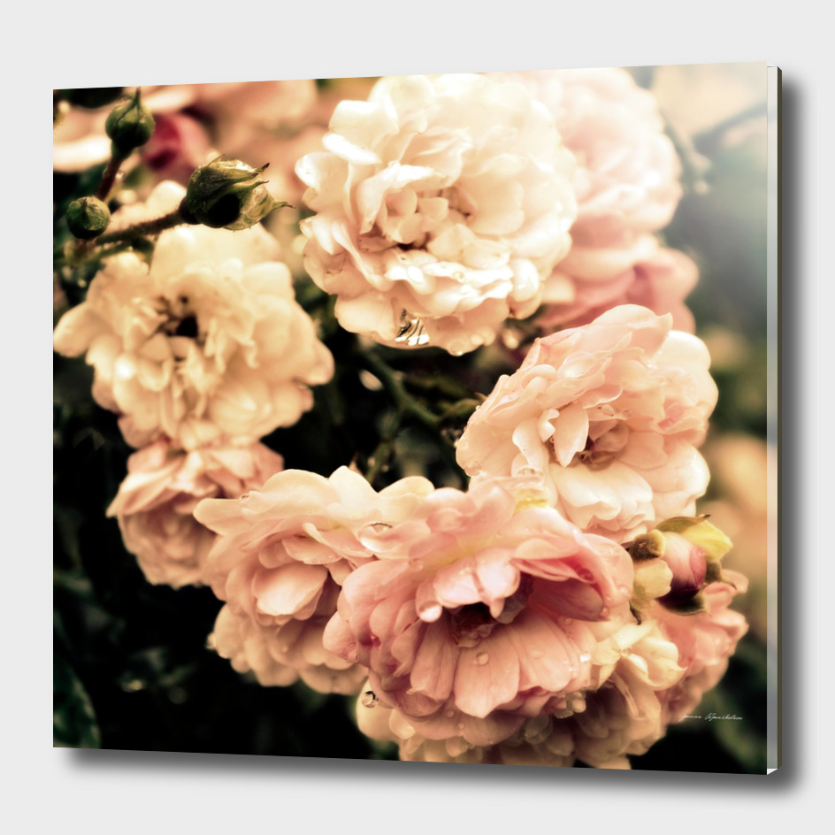 Roses Nostalgia