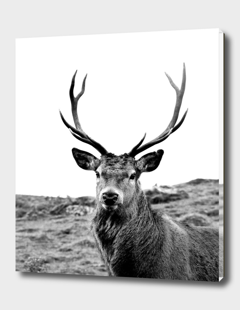 European Red Stag - b/w