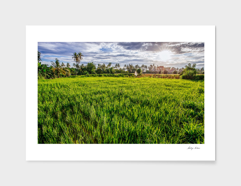 Ricefield sunset