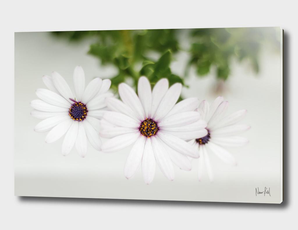 Pissenlit // Dandelion