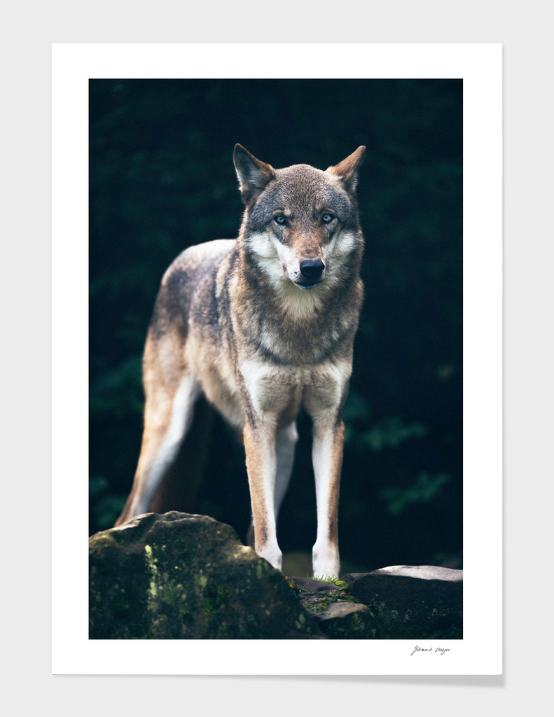 Wolf on rock in dark forest