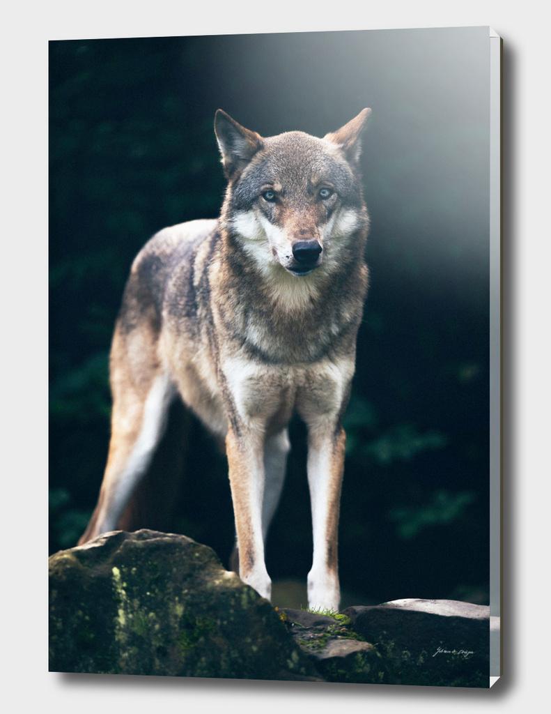 Wolf on rock in dark forest