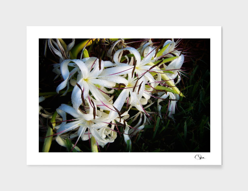String Lily DPSS171020a