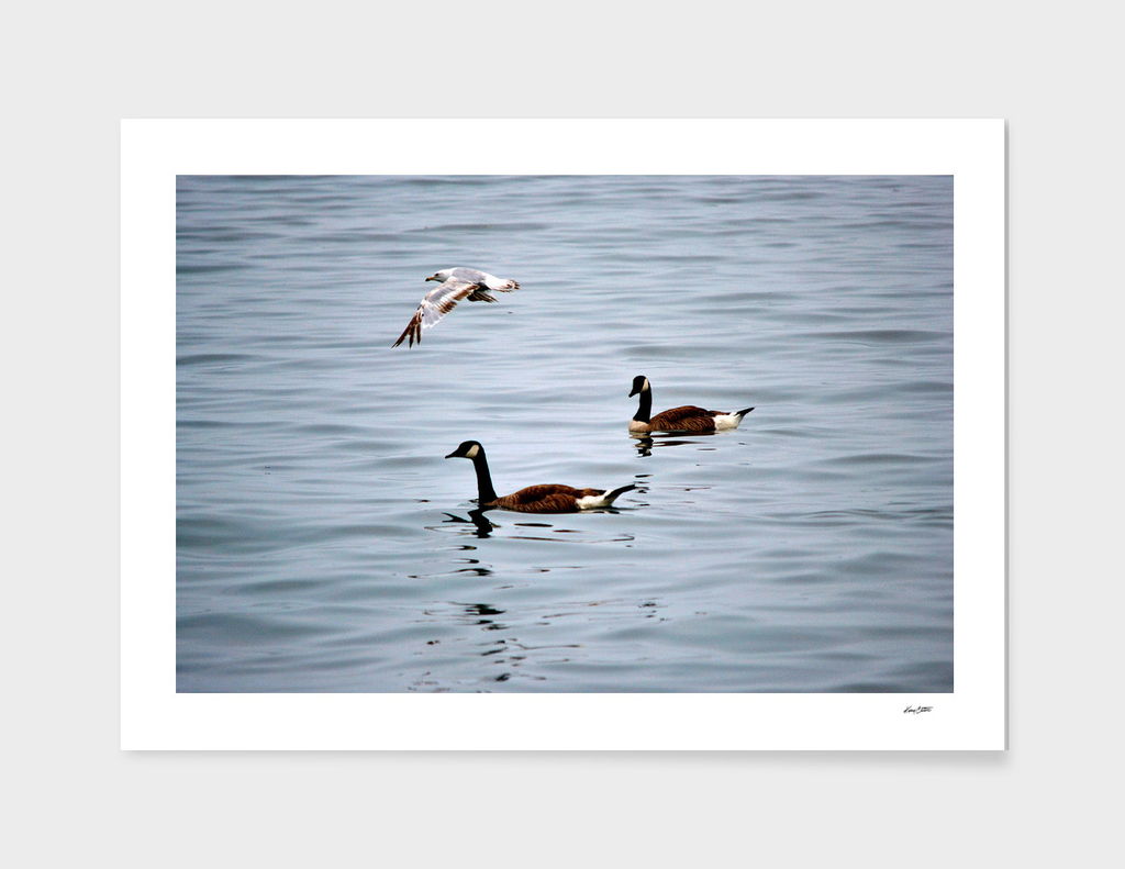Geese & seagull