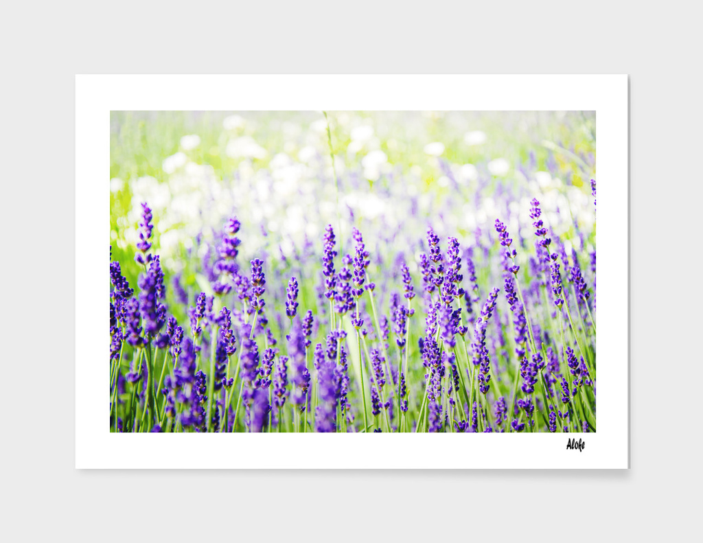 Field of Lavender 01