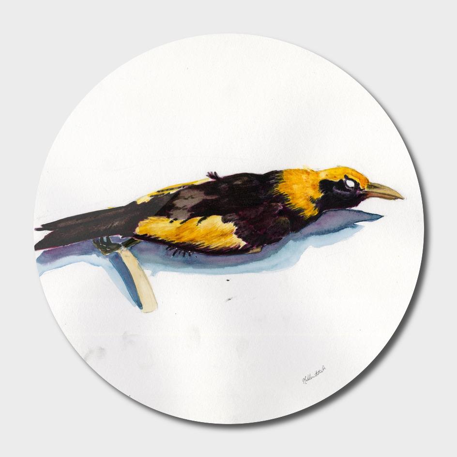 Regent Bower Bird