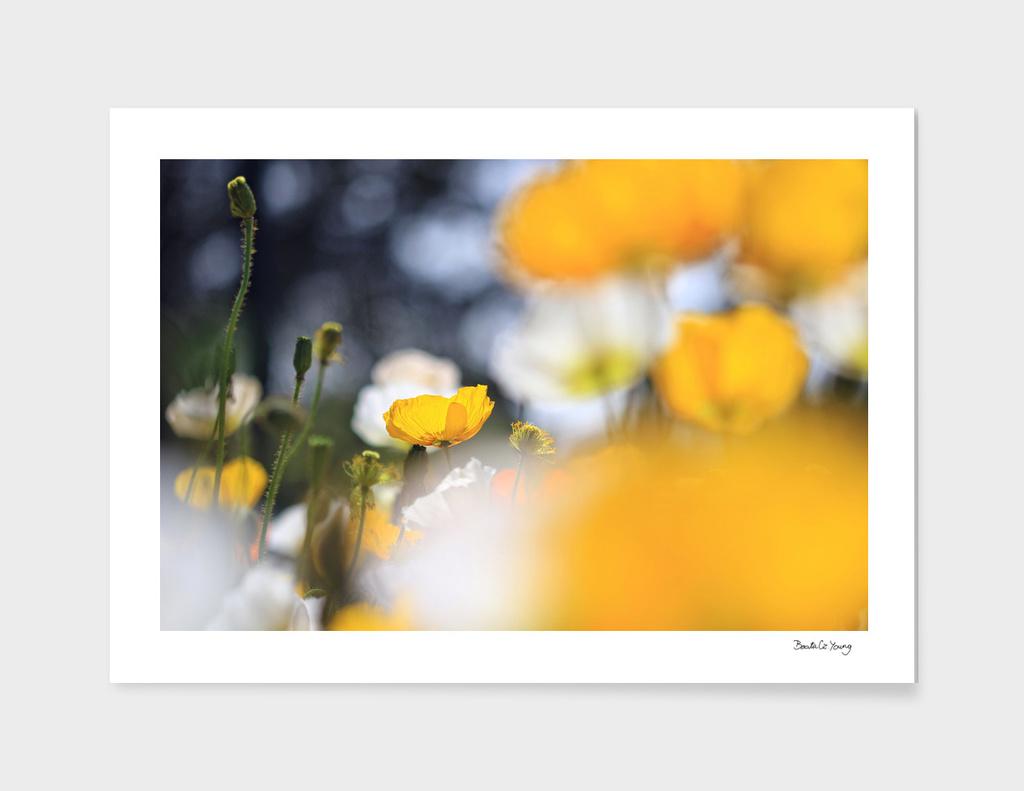 Yellow in my garden