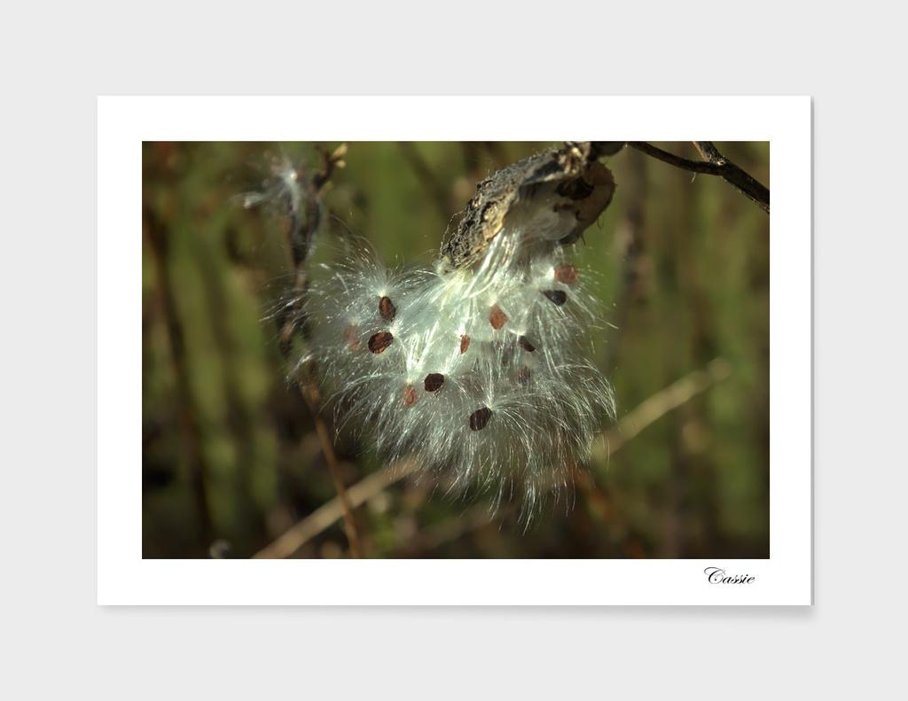 Birth of next generation of milkweed plants