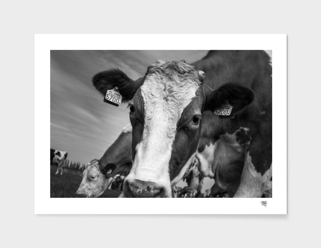Cow do you do?