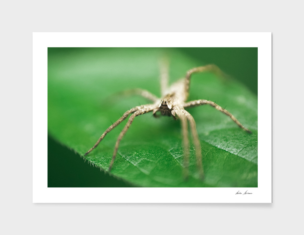 Nursery Web Spider Sitting On Green Leaf In Garden