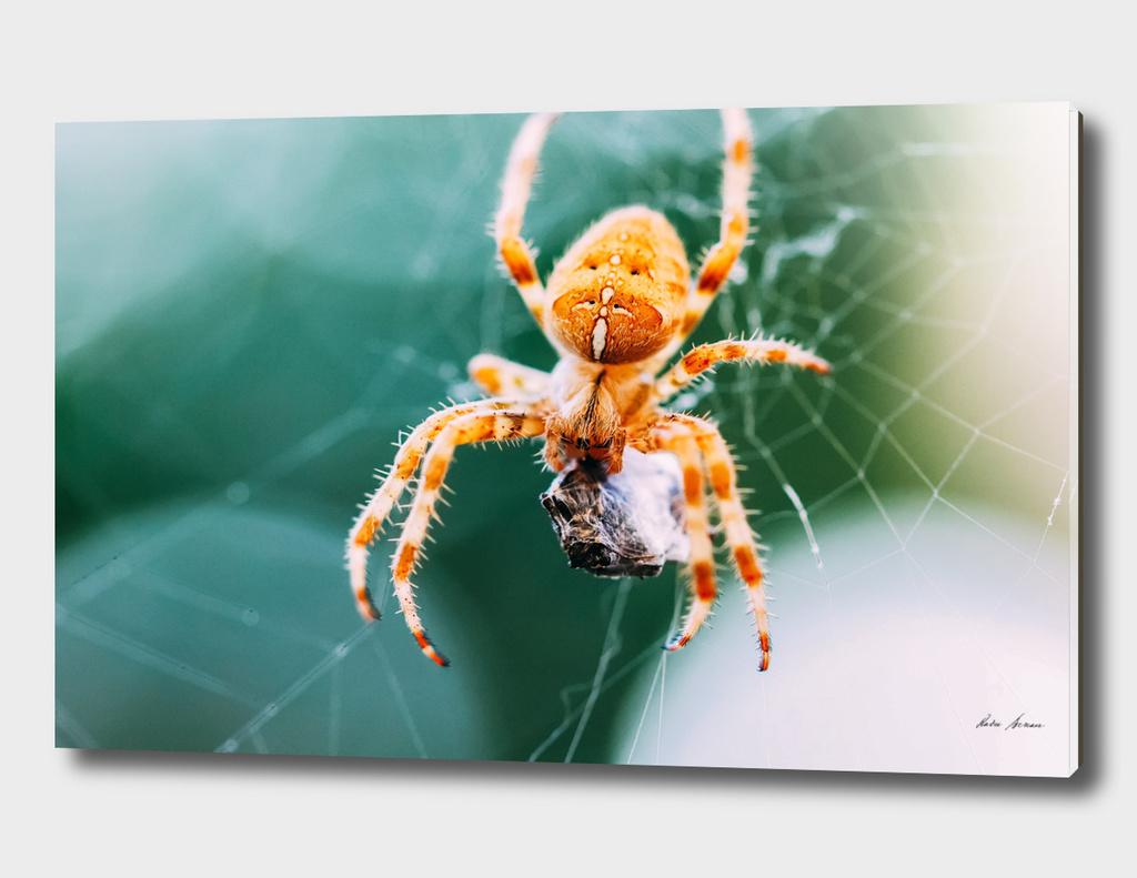 European Cross Spider (Araneus Diadematus) On Web Eating