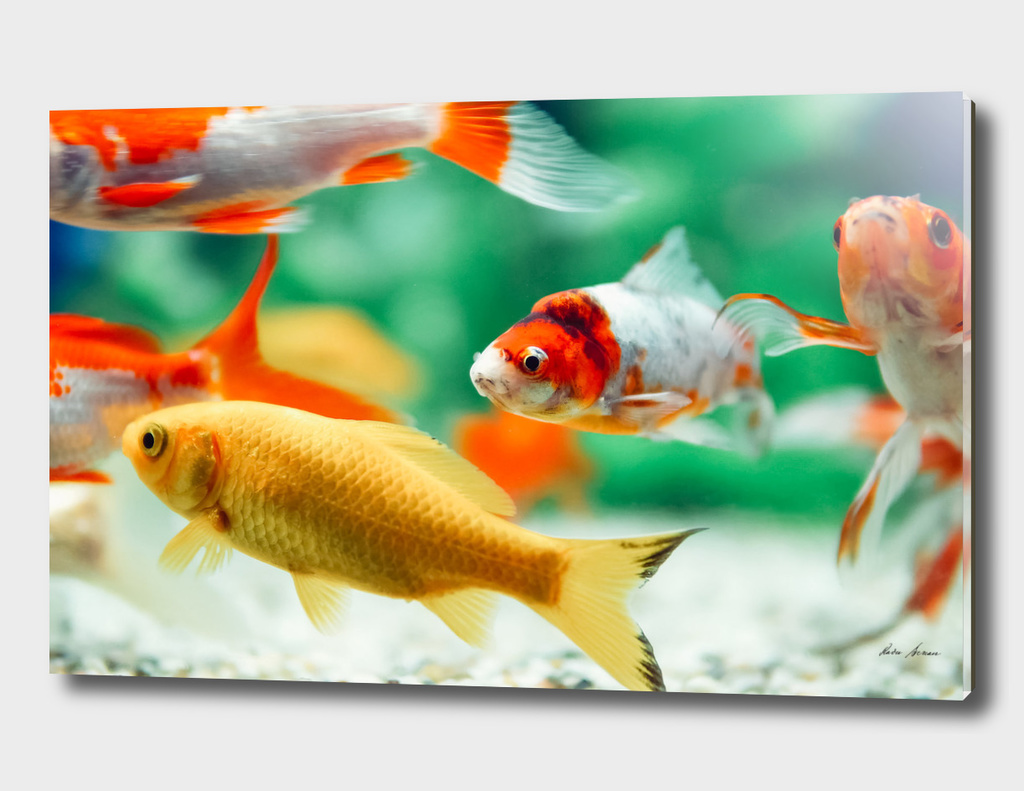 Yellow and Red Goldfish Swimming In Aquarium