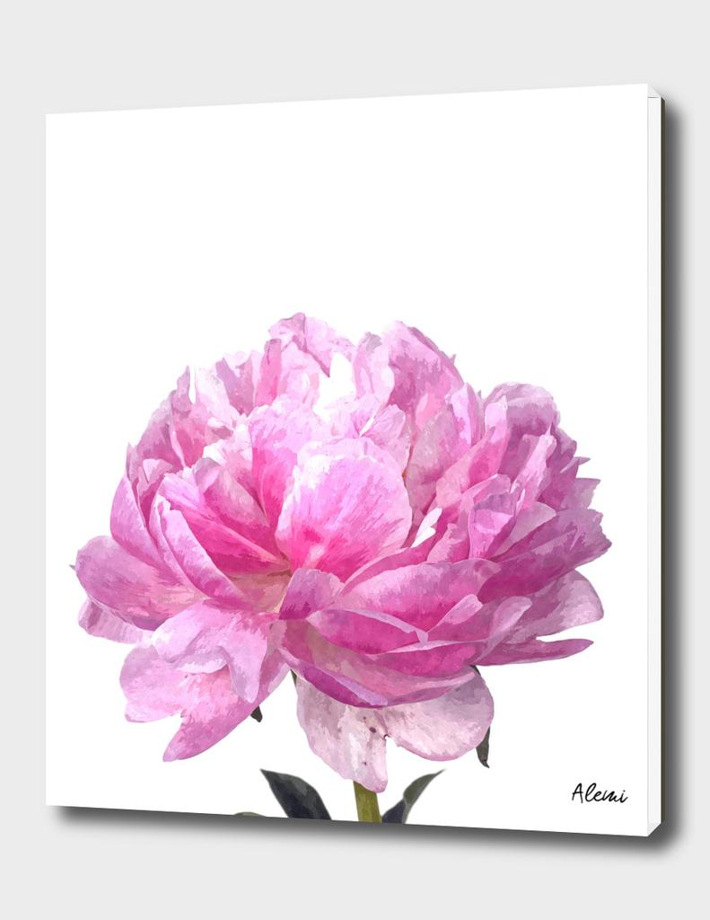 Pink Peony Illustration