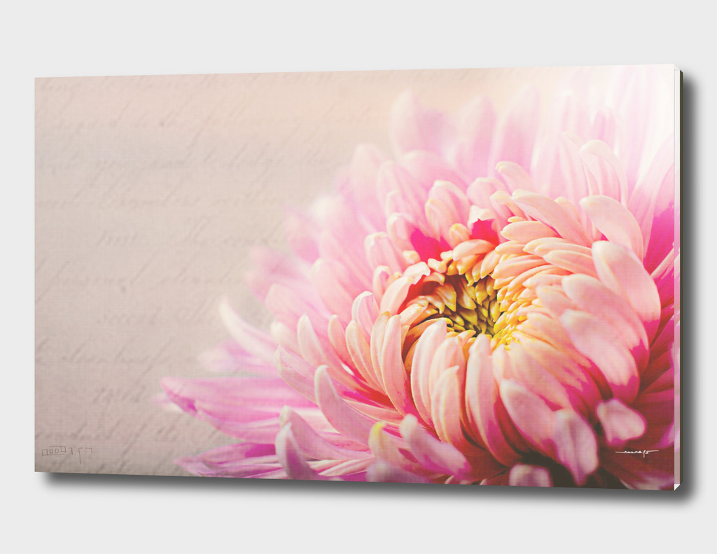 Chrysanthemum Autumn Pink