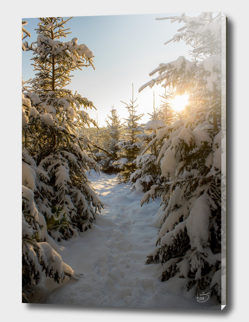 Snowy fir trees