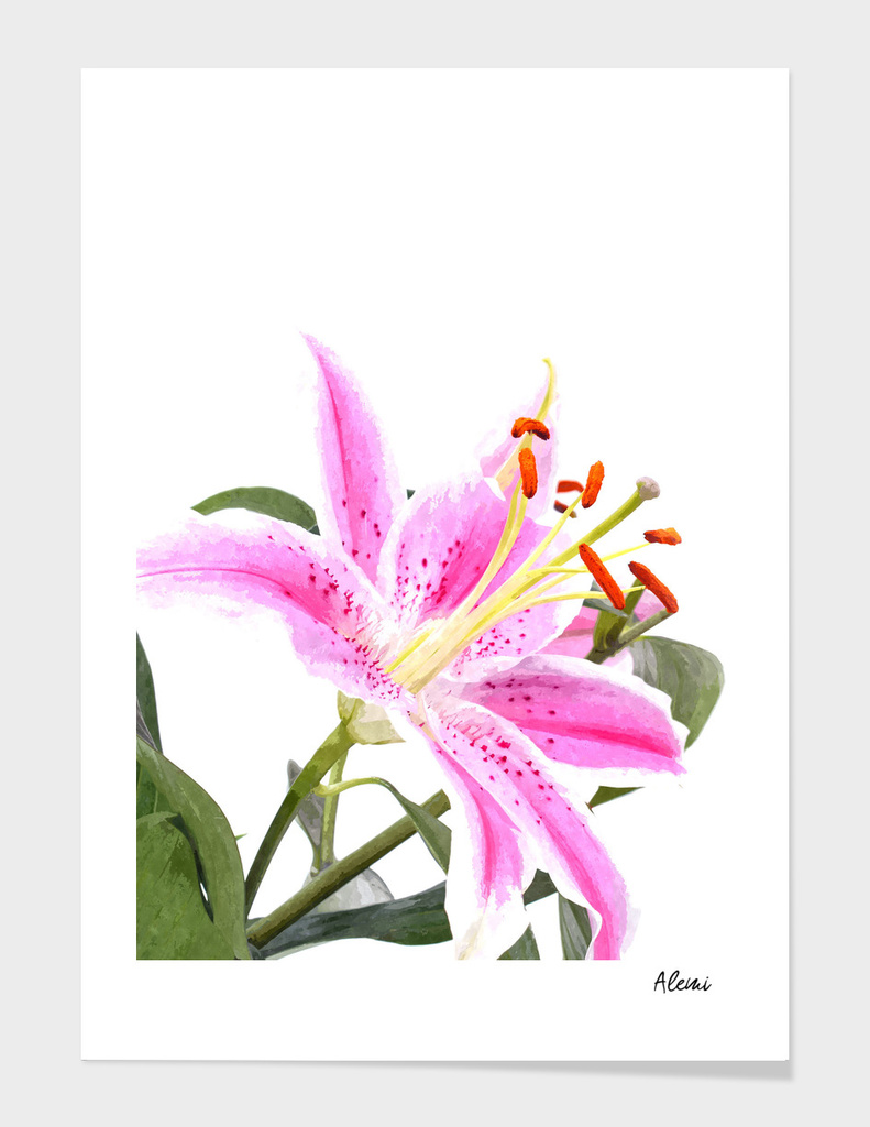 Pink Lily Illustration