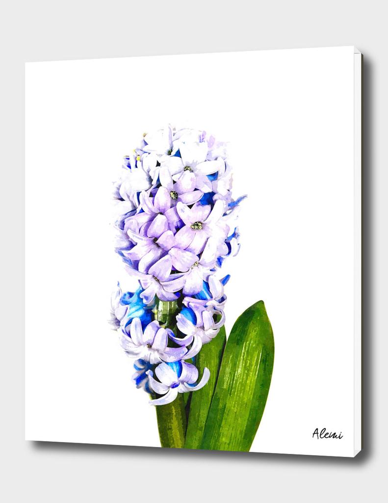 Hyacinth Illustration