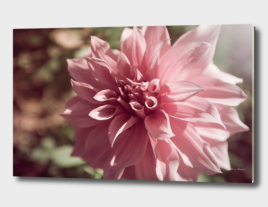 Delicate pink flower dahlia, close up