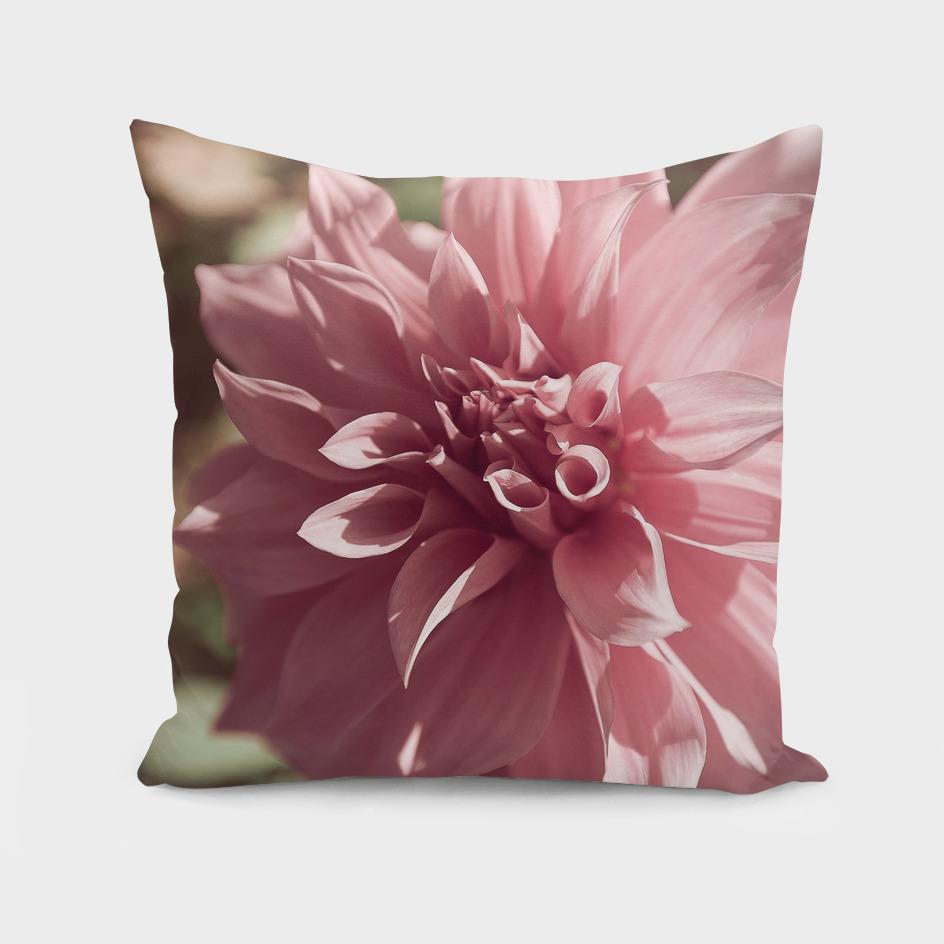 Delicate pink flower dahlia, close up