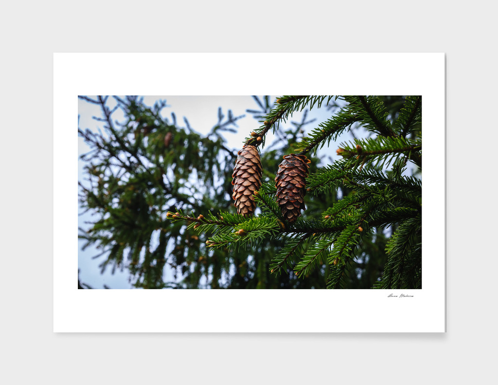 Green branch Tree Cones Winter Blue Sky