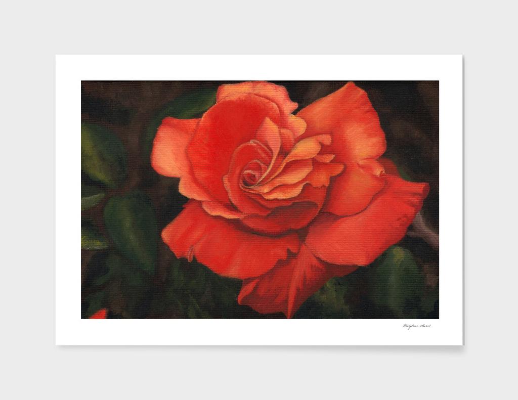 Coral rose flower