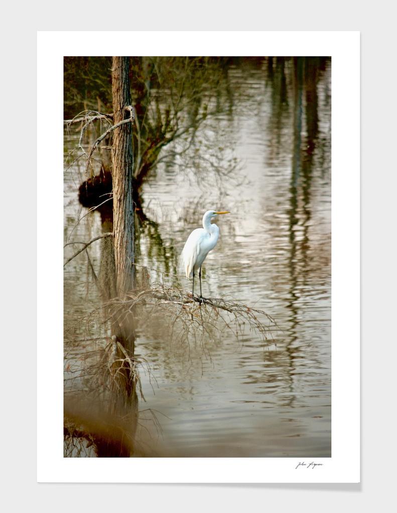 Egret on the bayou