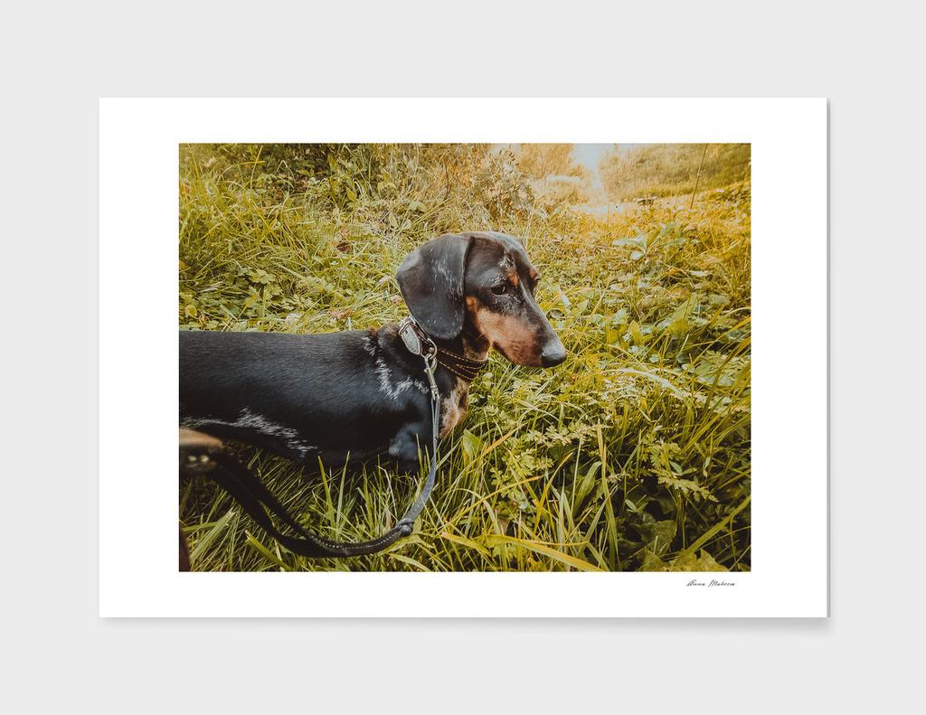 Dog Dachshund Walk