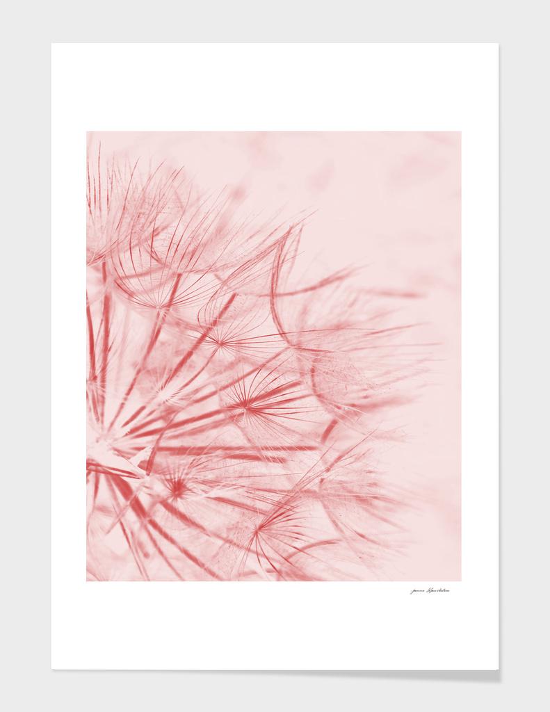 Dandelion In Pink
