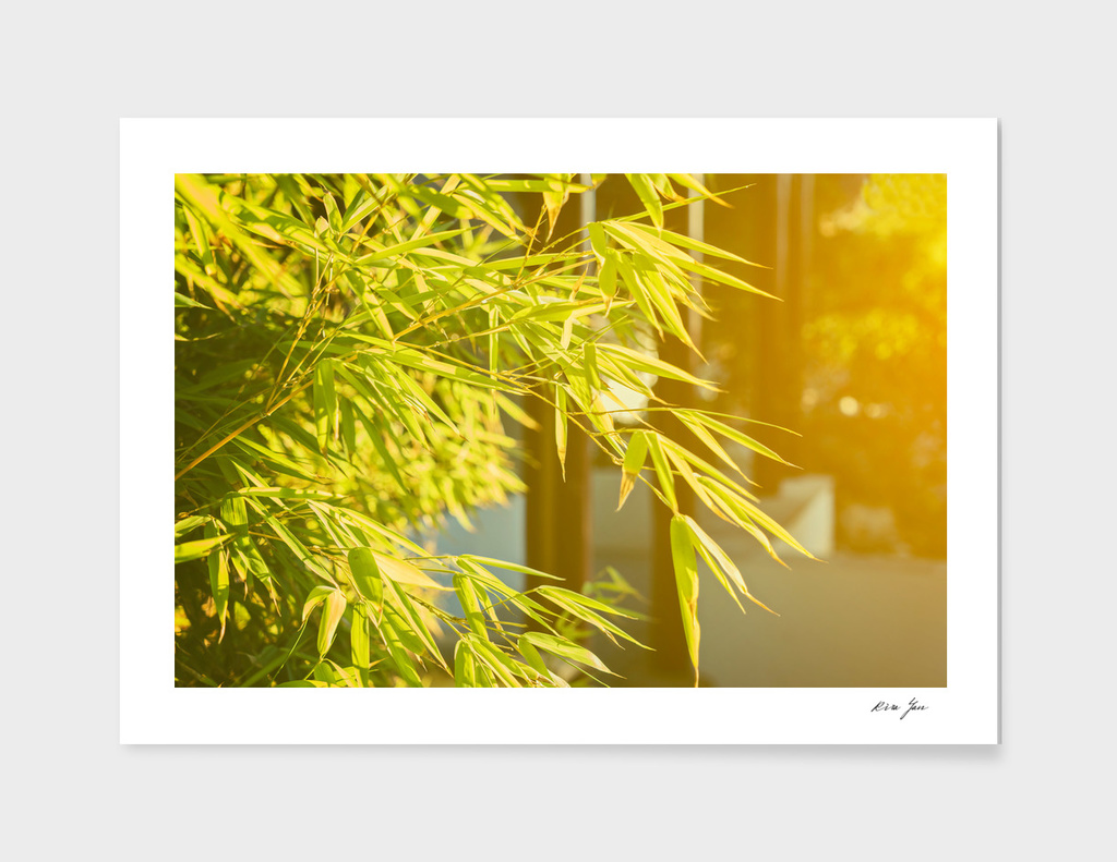 Young japan bamboo leaves