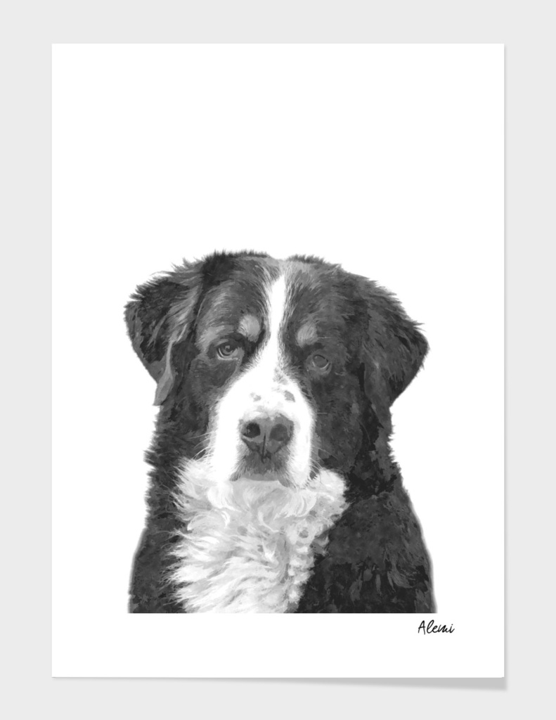 Black and White Bernese  Mountain Dog