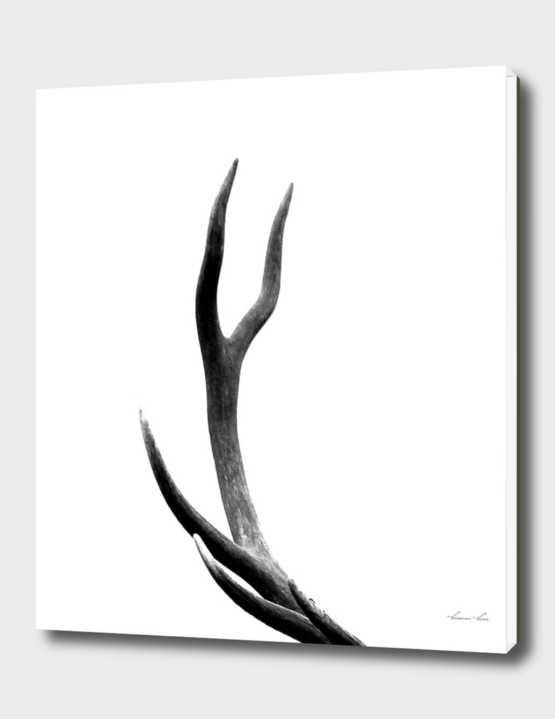 stag antler - b/w