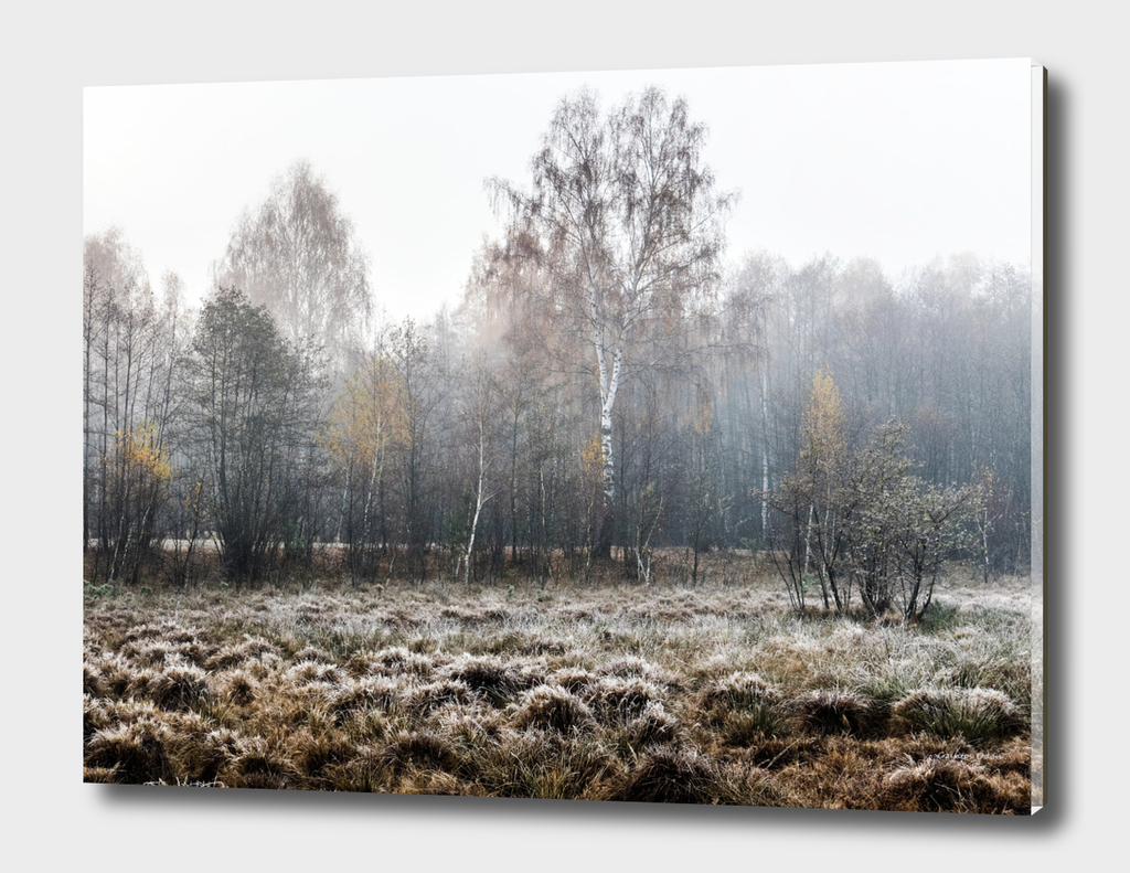 Autumn birch forest in fog