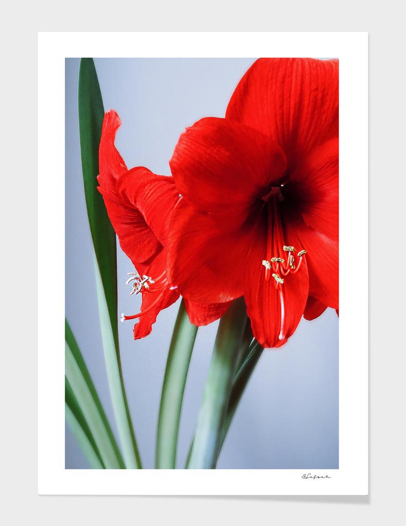 The Red Amaryllis
