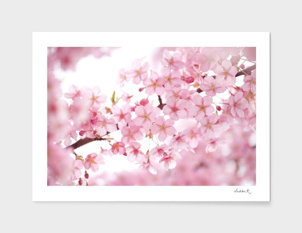 Cherry blossom in full bloom
