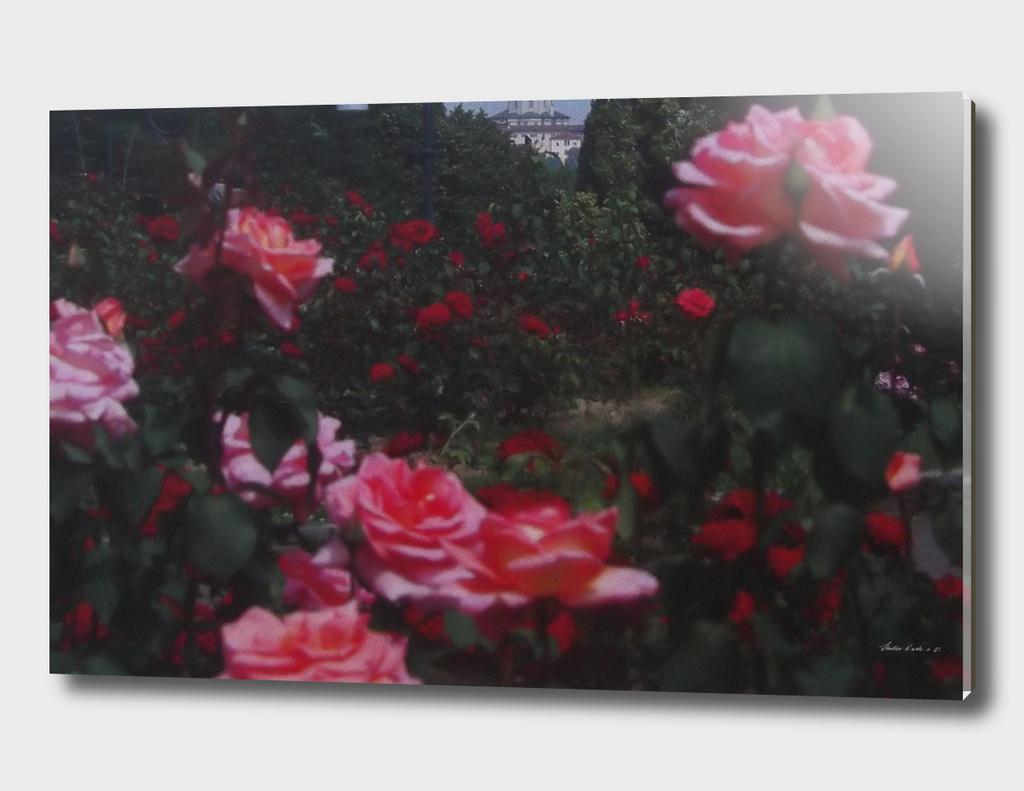 Roses in an English garden