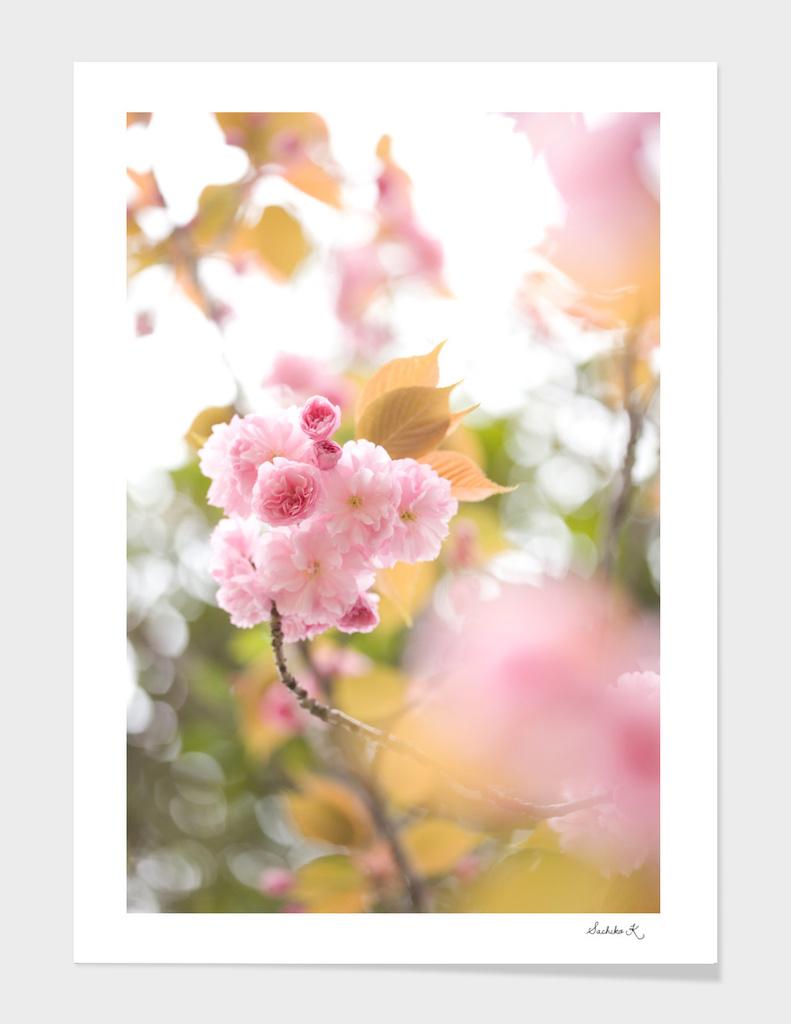 Double cherry blossom