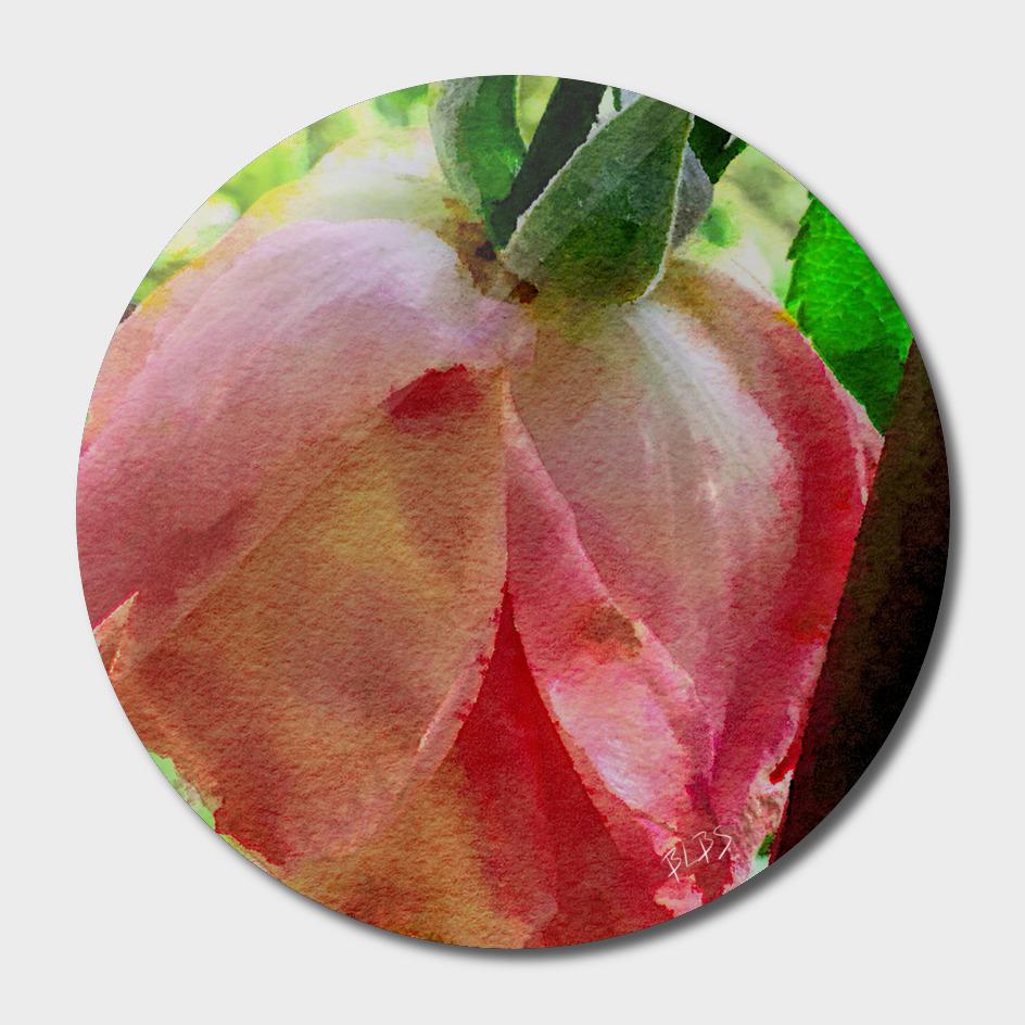 Dying Pink Rose