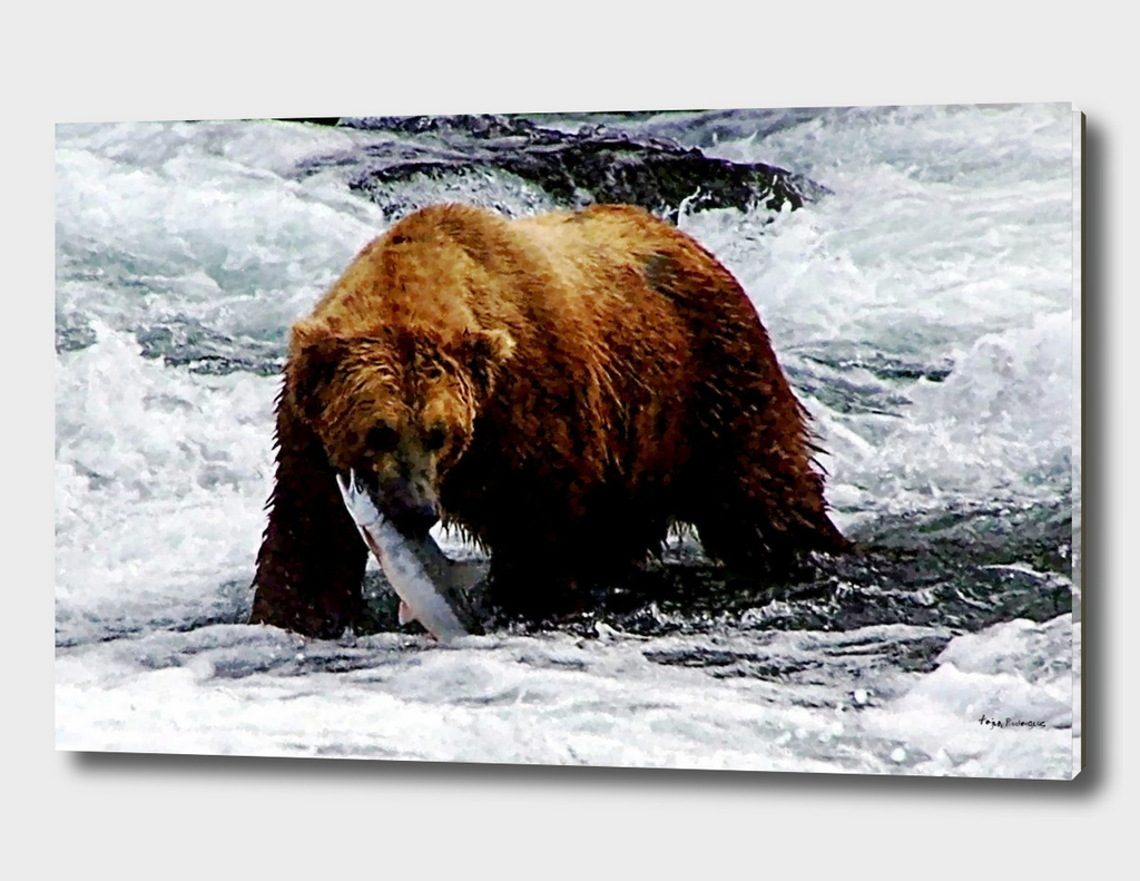 A Grizzly Bear in the water