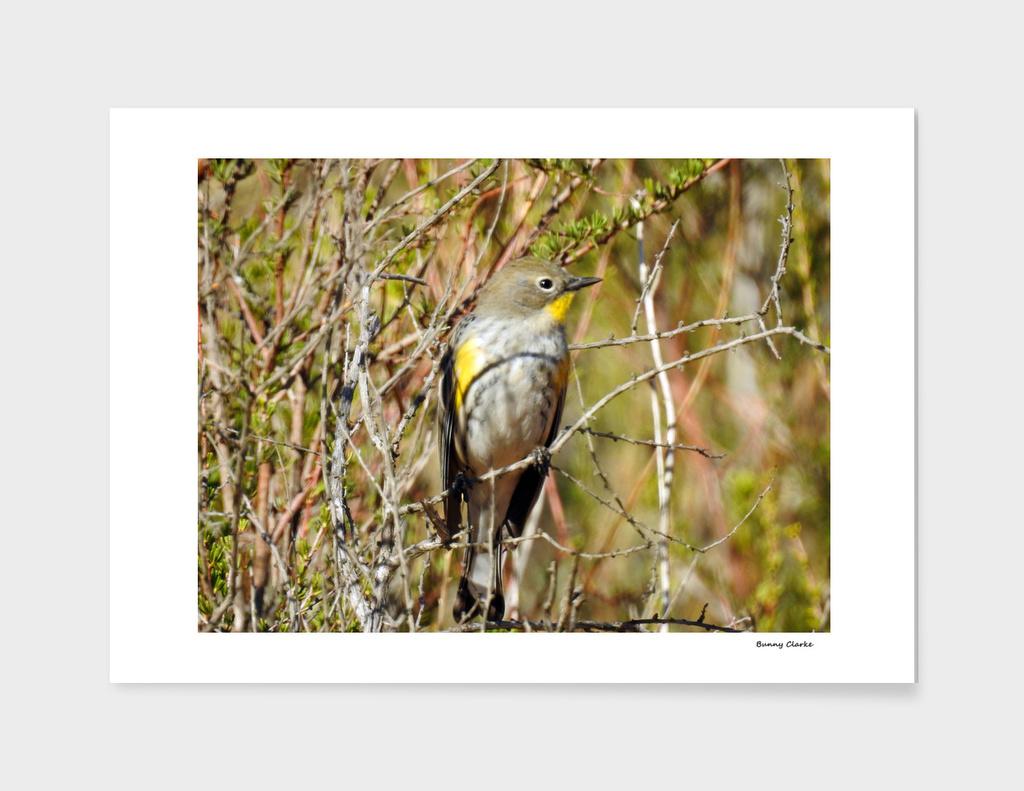 Yellow Rumped Warbler