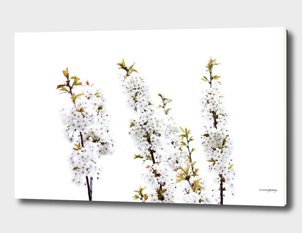White Cherry Blossoms2