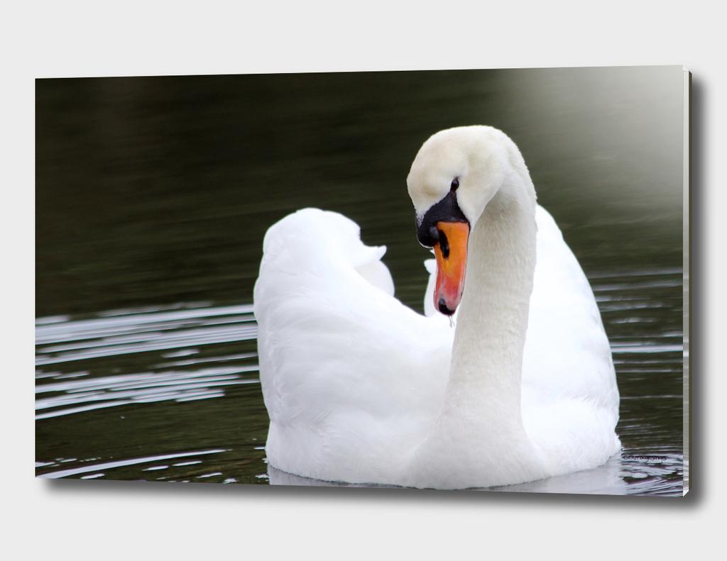 Swan in water2