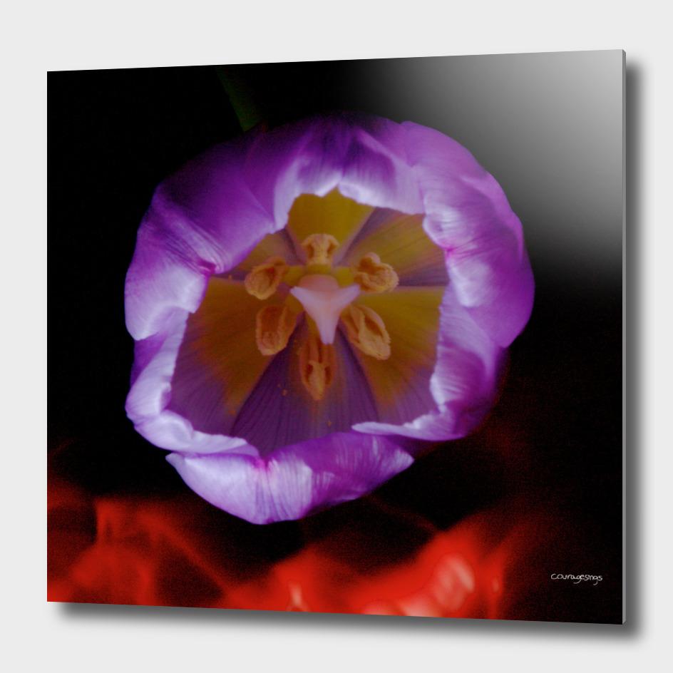 Light Painting Purple Tulip