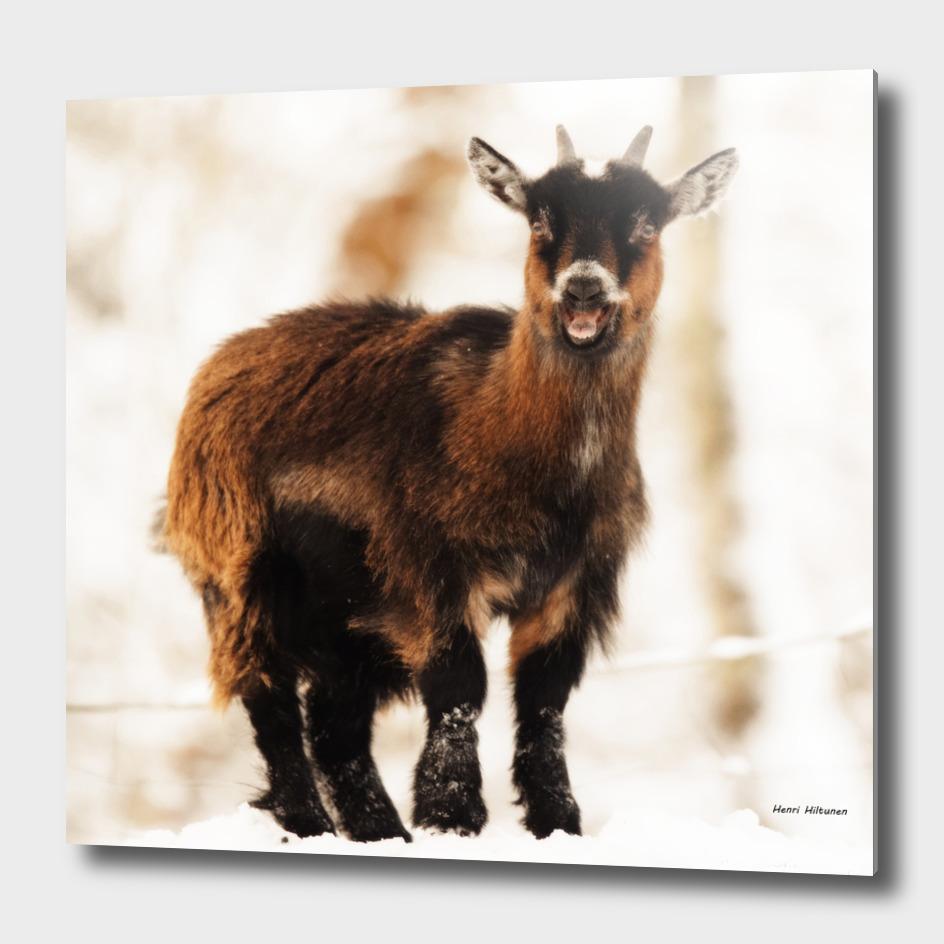 Baby goat 1