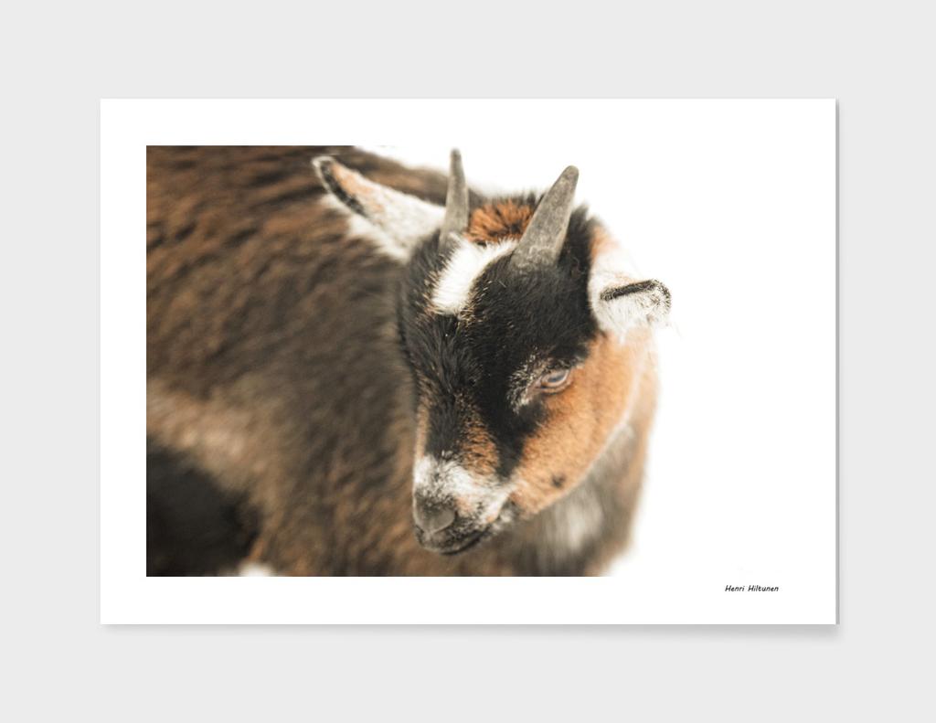 Baby goat 2