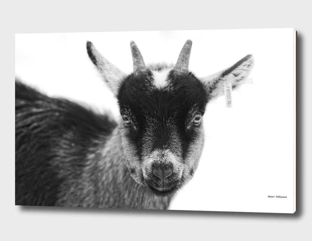 Baby goat 3